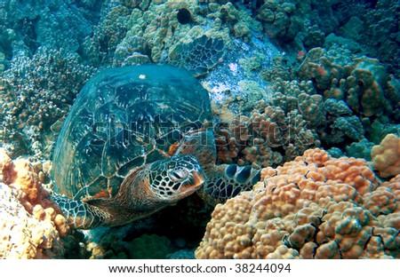 Green Sea Turtle on an Hawaiian Reef - stock photo