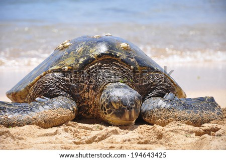 Green sea turtle on beach in Hawaii, Oahu - stock photo