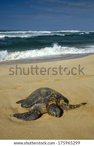 Green sea turtle on beach, North Shore of O'ahu, Hawaii - stock photo