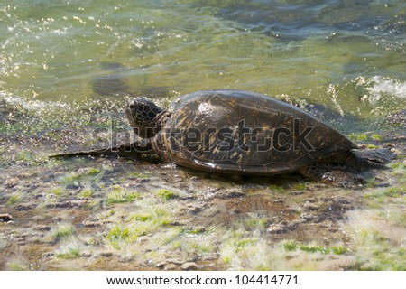 Green Sea Turtle on the beach in Hawaii - stock photo