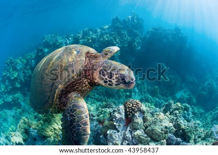 green sea turtle over endangered coral reef in maui hawaii