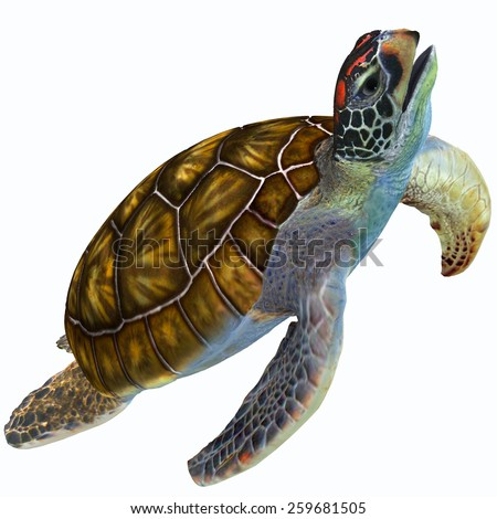 Green Sea Turtle Profile - The Green Sea Turtle is herbivorous and lives in warm subtropical and tropical ocean waters throughout the world. - stock photo
