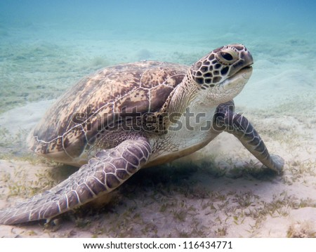 Green sea turtle. Red Sea - stock photo