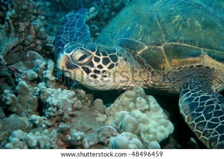 green sea turtle resing on the ocean floor