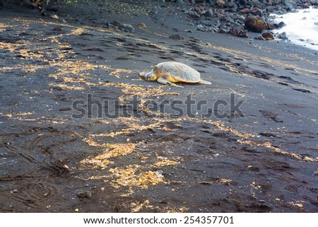 Green sea turtle resting on a volcanic black sand beach - stock photo