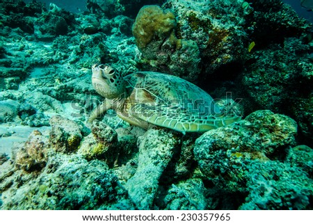Green sea turtle resting on the reefs in Derawan, Kalimantan, Indonesia underwater photo. Chelonia mydas surrounded by various coral reefs.