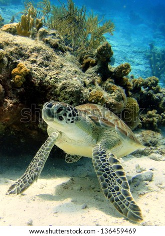 Green Sea Turtle resting on tropical coral reef in the Caribbean, Bonaire - stock photo