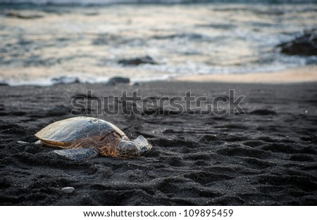 Green sea turtle rests on Hawaiian black sand beach