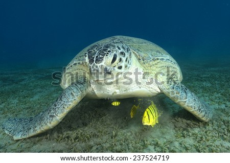 Green sea turtle (scientific name: Chelonia mydas) on a sandy bottom covered with marine grass in the Red Sea, Egypt