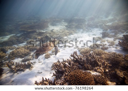 Green sea turtle, swimming amongst coral garden in Ningaloo Marine Park, Western Australia. - stock photo