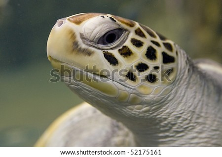 Green sea turtle swimming. Close up photo. - stock photo