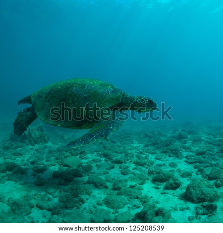 Green sea turtle swimming gracefully through the ocean