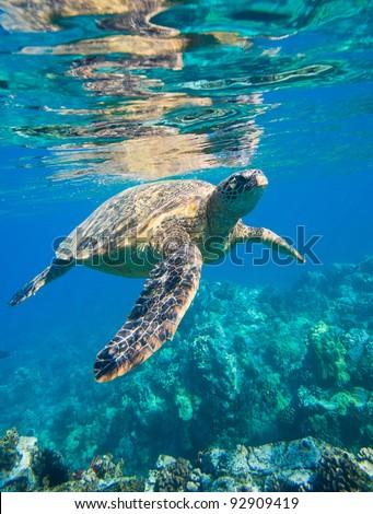 green sea turtle swimming in ocean sea - stock photo