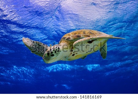 Green Sea Turtle swimming in the ocean in the Caribbean, Bonaire - stock photo