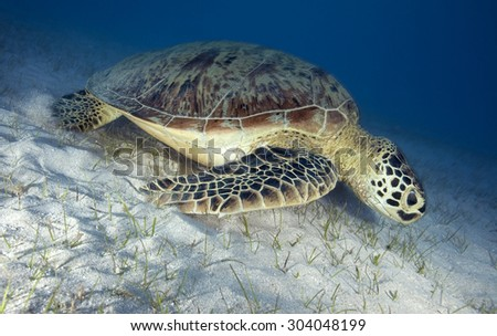 GREEN SEA TURTLE SWIMMING ON A SAND BOTTOM