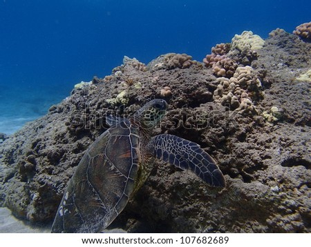 Green Sea Turtle swimming on bottom of ocean