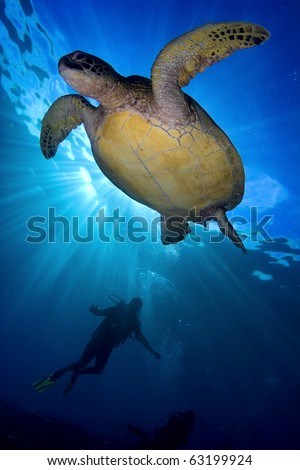 Green sea turtle swimming over scuba diver with sun from above on blue water background in the ocean - stock photo