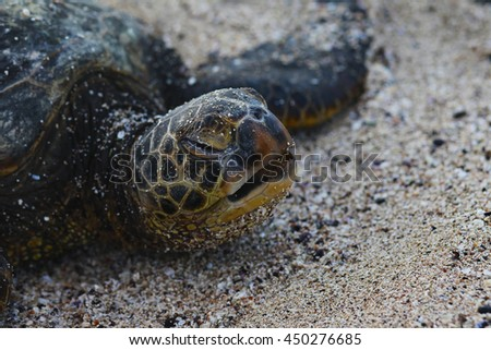 Green sea turtle waking up from nap on the shores of Hawaii