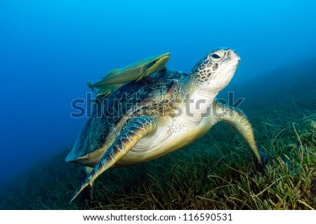 Green Sea Turtle with attached Remora sits on seagrass in the late afternoon