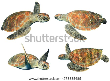 Green Sea Turtles isolated on white - stock photo