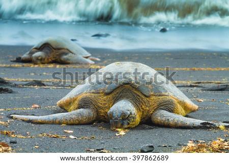 Green sea turtles sleeping on a volcanic black sand beach in Hawaii - stock photo