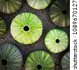 green sea urchin shells on dark ...