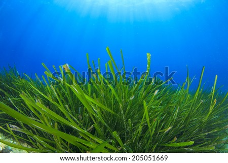 Green Seaweed blue water background - stock photo