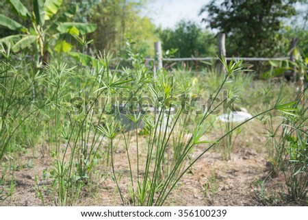 green sedge on nature. - stock photo
