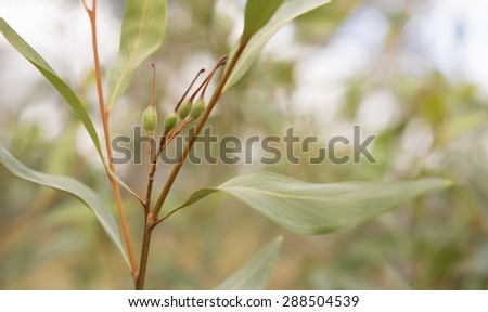 Green seed pods of australian Grevillea orange marmalade closeup with leafy foliage - stock photo