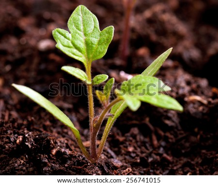 Green seedling of tomatoes growing out of soil