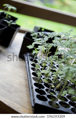 green seedling tomatoes - stock photo