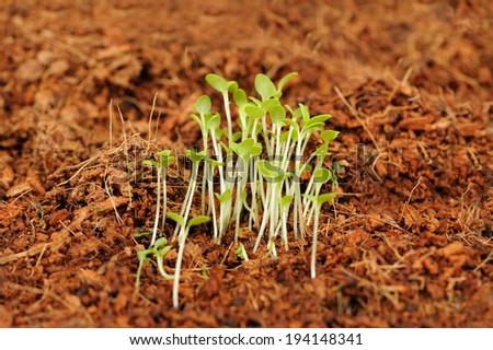 Green Seedlings Growing in Soil - stock photo