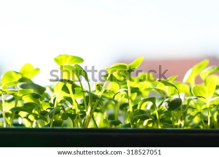 green seedlings on sunlight, growing in pot, closeup