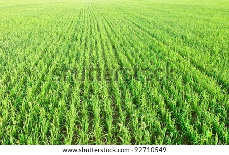 Green shoots of oats and peas - stock photo