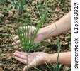 green shoots of onions in the garden - stock photo