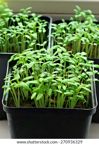Green shoots of seedlings in a few pots - stock photo