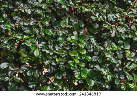 green shrub fence close up in row for background, plant texture - stock photo