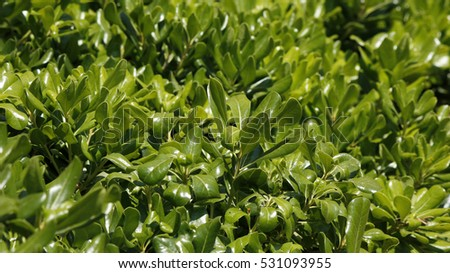 Green shrub with shining glossy leaves in a park