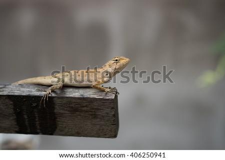 Green skin lizard on wood stick - stock photo