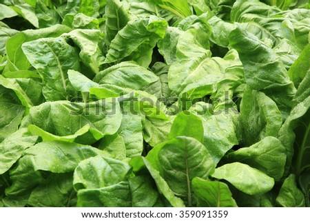 green sliverbeet grow in vegetable garden - stock photo