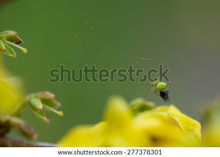 Green small spider eating a fly on his web - stock photo