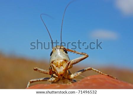 Green smiling grasshopper against the blue sky - stock photo