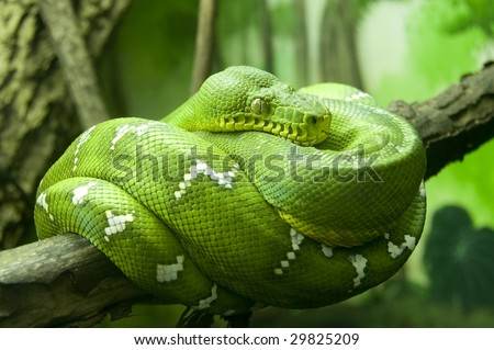 Green snake coiled on tree branch in zoo - stock photo