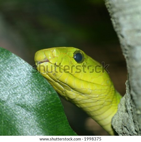 Green Snake coming out from behind a tree