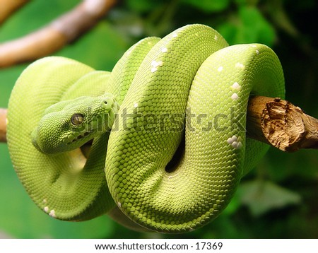 Green snake curled up on a branch