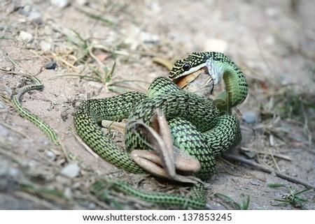 green snake eat frog - stock photo