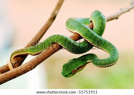 Green snake from Khao Yai Thailand. Khao Yai is UNESCO World heritage. - stock photo