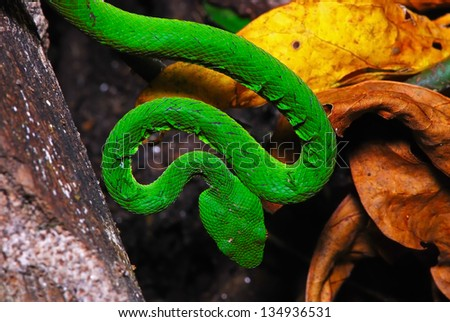 Green snake, Green pit viper or Asian pit viper, in ground forest - stock photo