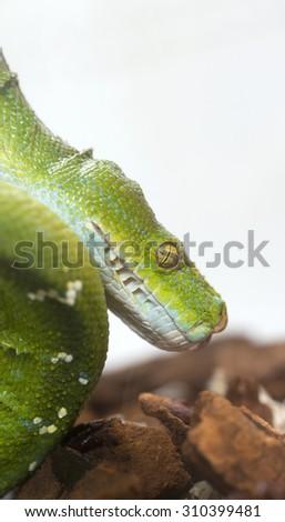 Green snake in captivity - stock photo