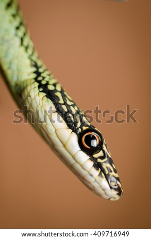 Green snake on brown background. Close up Golden tree snake  - stock photo